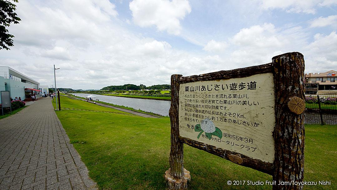 栗山川のあじさい遊歩道